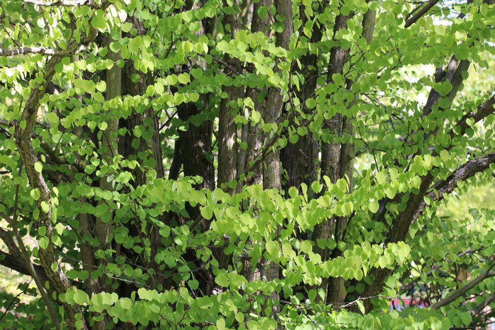 Japanischer Kuchenbaum braucht einen sonnigen bis halbschattigen Standort