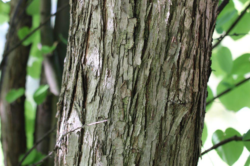 Japanischer Kuchenbaum Stamm mit Rinde