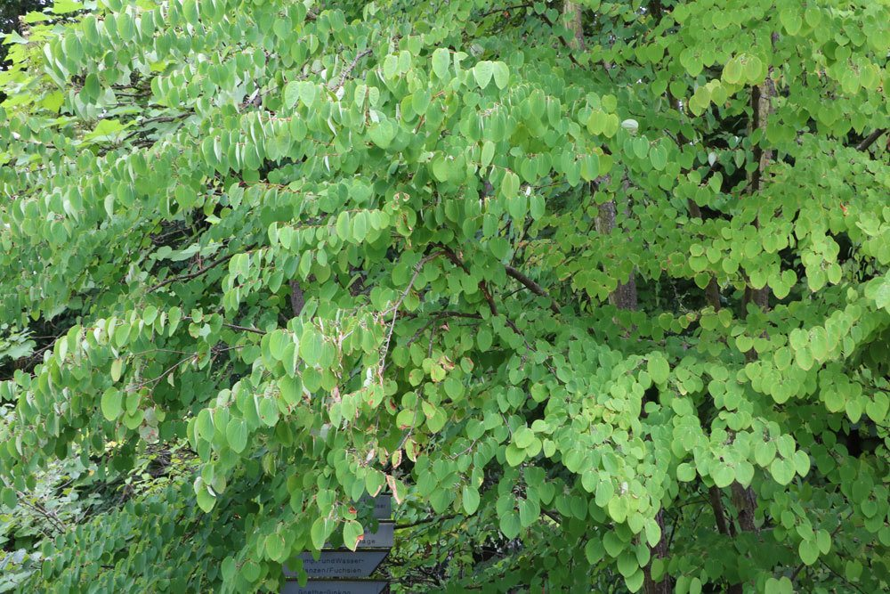 Japanischer Kuchenbaum, Lebkuchenbaum, Cercidiphyllum japonicum