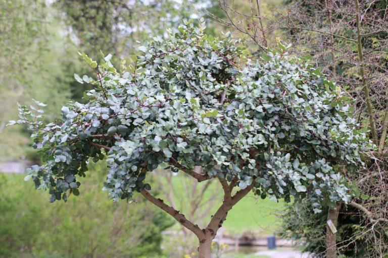 Johannisbrotbaum, Ceratonia siliqua