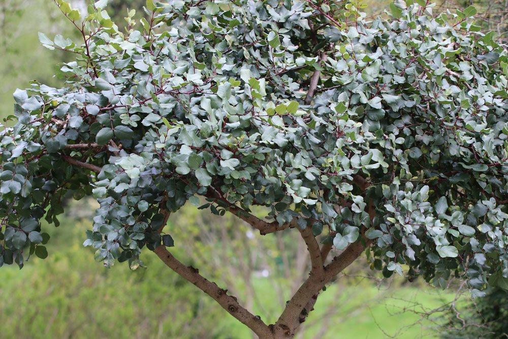 Johannisbrotbaum ist ein immergrüner Baum