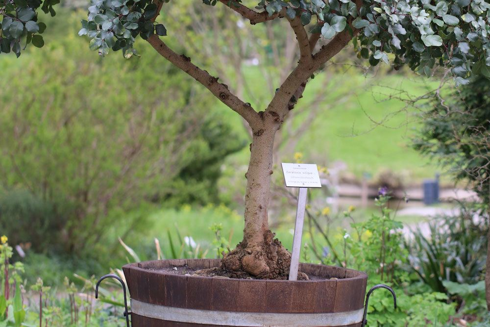 Johannisbrotbaum braucht sonnig-warmen Standort