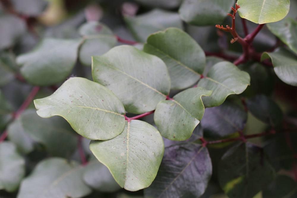 Johannisbrotbaum mit ledrig, dunkelgrünen Fiederblättern