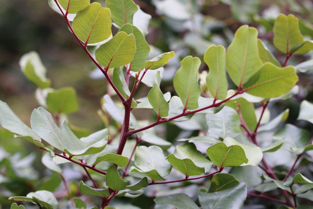 Johannisbrotbaum, Ceratonia siliqua ist nicht winterhart