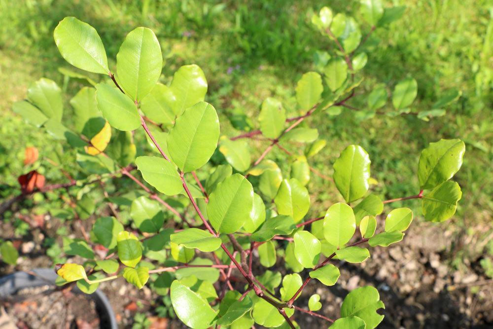 Johannisbrotbaum ein dekoratives Blüten- und Fruchtgehölz