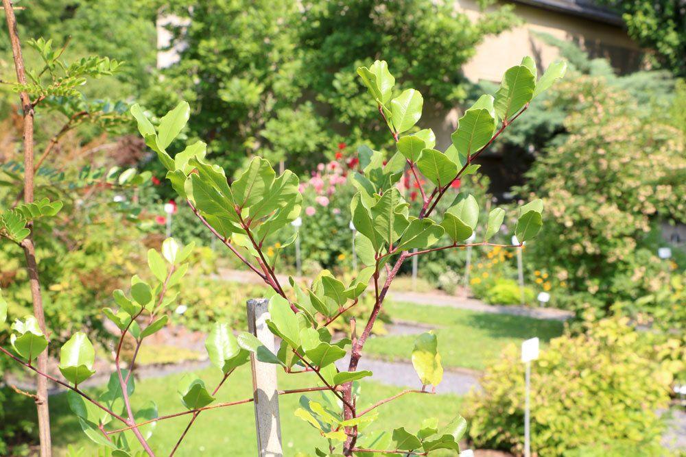 Johannisbrotbaum wird auch Karobbaum genannt