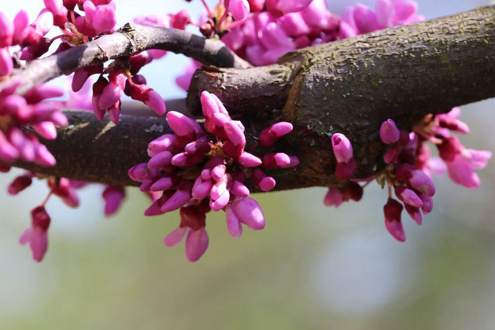 Kanadischer Judasbaum mit kleinen rosafarbenen Blüten