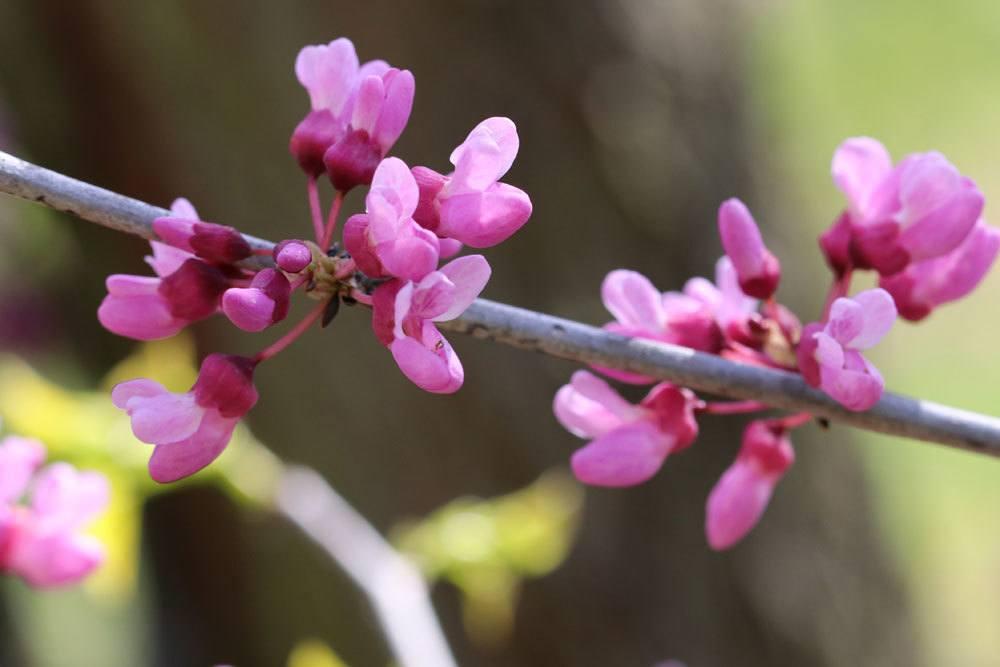 Kanadischer Judasbaum, Cercis canadensis mit kleinen rosa Blüten an einem Zweigstück