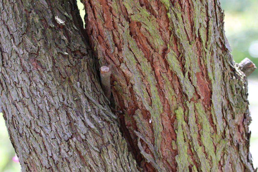 Kanadischer Judasbaum mit Stamm und Rinde