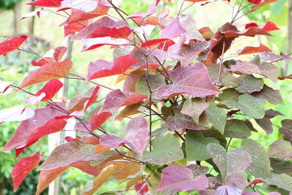 Kanadischer Judasbaum, Cercis canadensis mit rötlicher Laubfärbung
