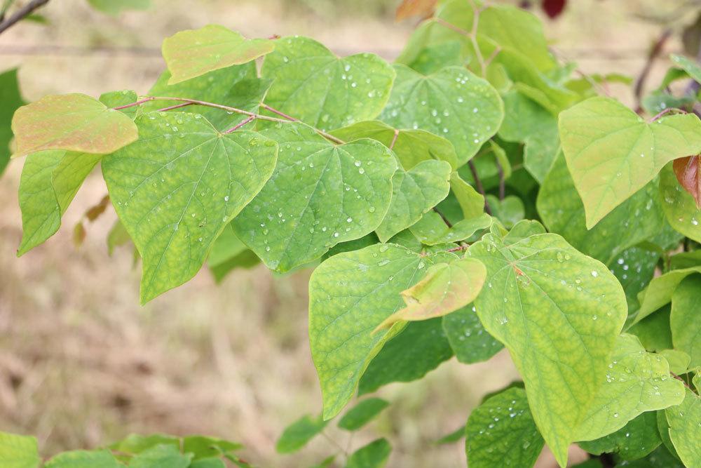 Kanadischer Judasbaum mit seinen herzförmigen Blättern