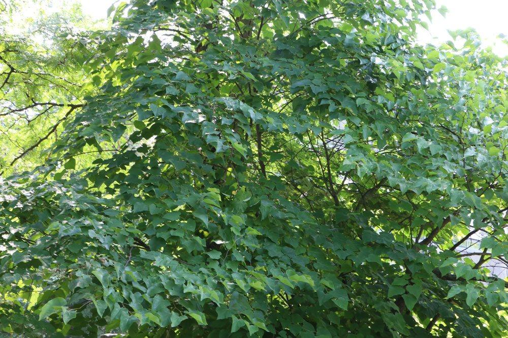 Kanadischer Judasbaum, Cercis canadensis
