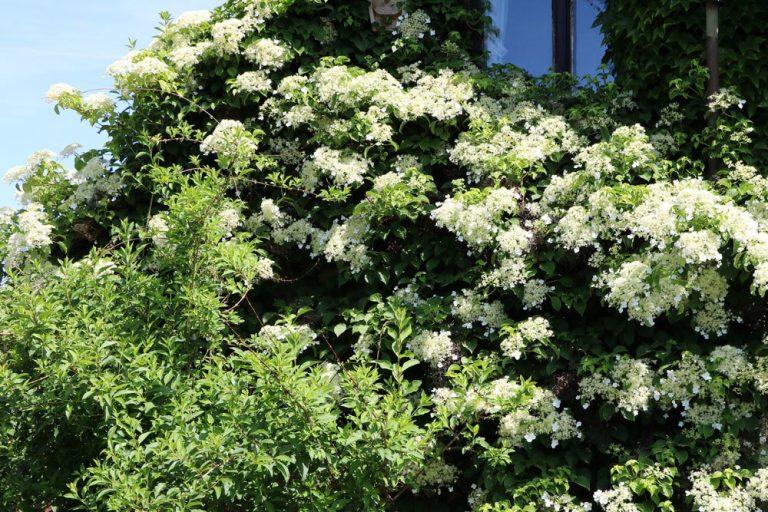 Kletterhortensie, Hydrangea petiolaris
