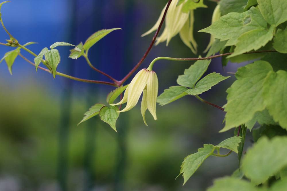 Koreanische Waldrebe, Clematis koreana ist auch als Kübelpflanze geeignet