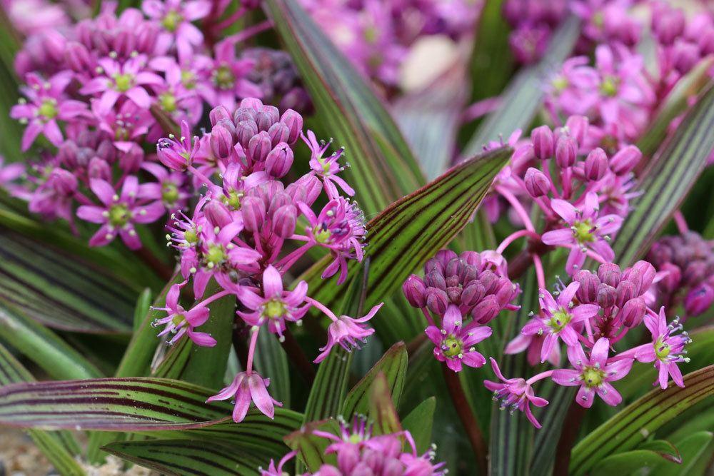 Ledebouria cooperi wächst aus Knollen und bis zu 10 Zentimeter hoch