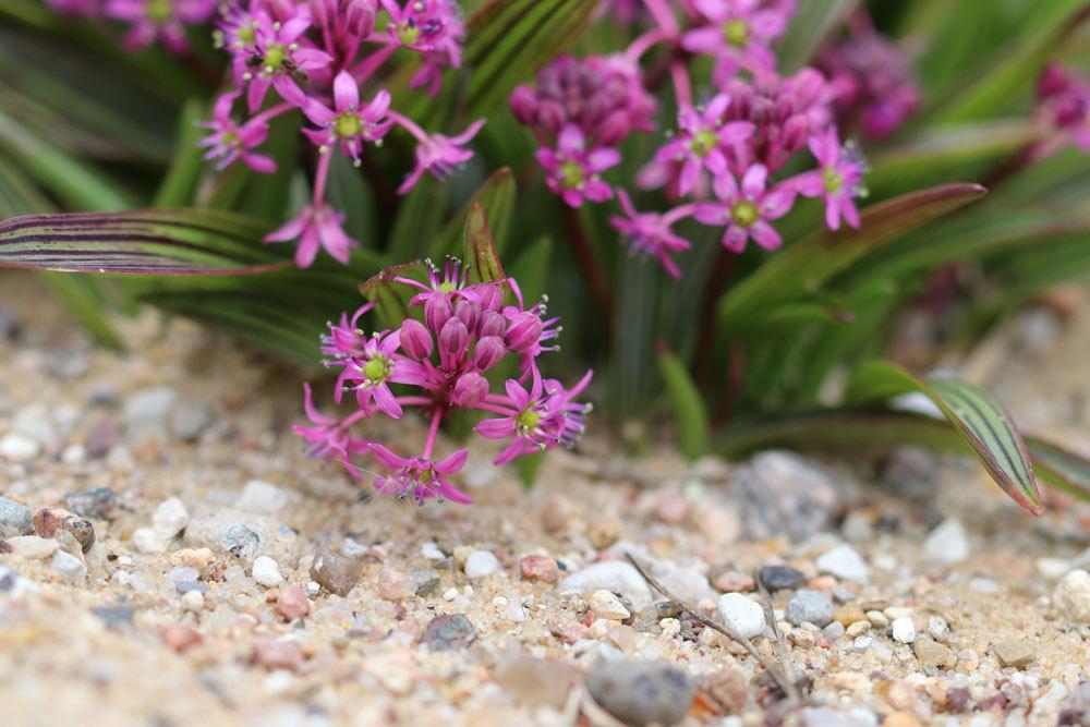 Ledebouria cooperi mit vielen kleinen violetten Blüten
