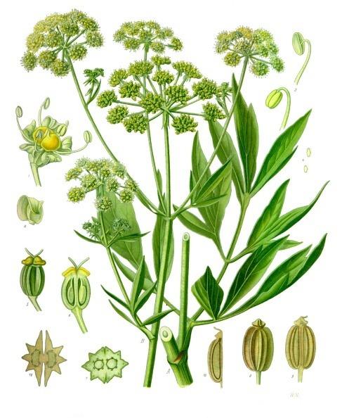 Liebstöckel in einer Übersicht der Pflanzenbestandteile