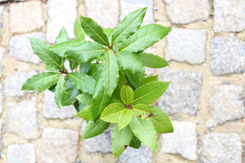 Lorbeerbaum als Gewürzpflanze oder Formschnittgehölz