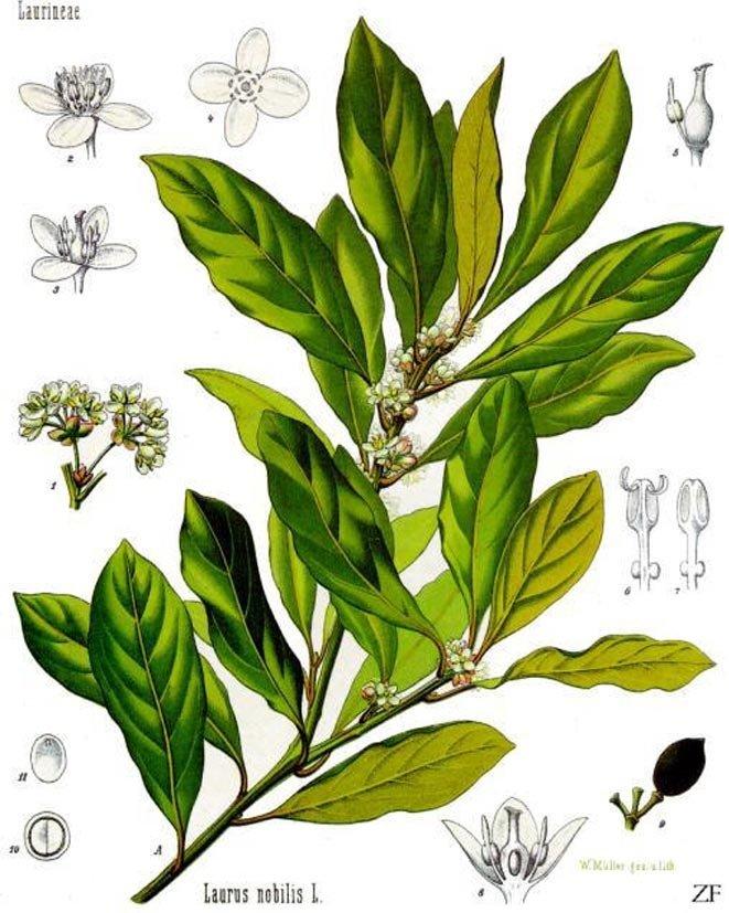 Übersicht Lorbeerbaum mit seinen Pflanzenbestandteilen