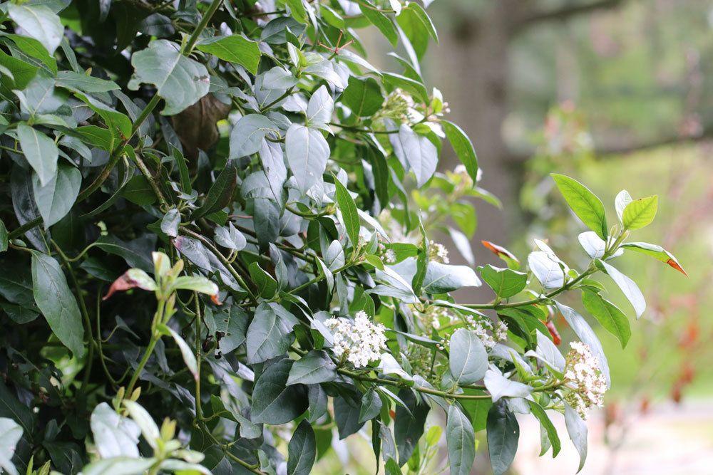 Lorbeerschneeball ist eine kalktolerante Pflanze