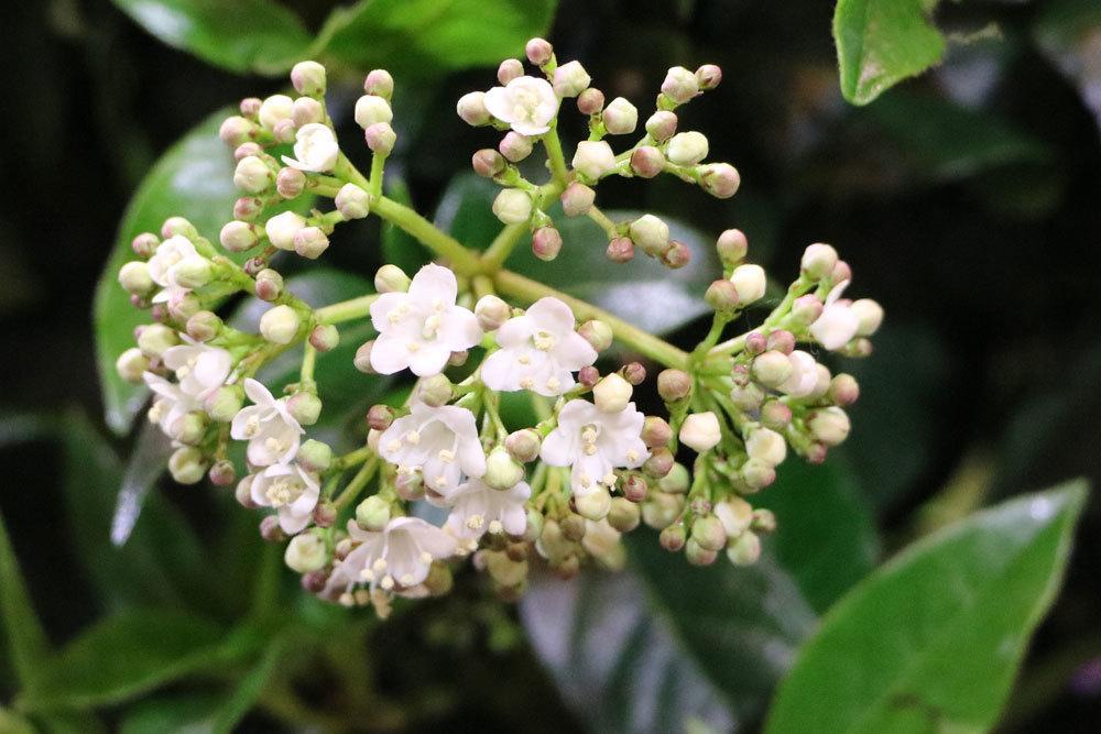 Lorbeerschneeball mit zierlichen Blüten