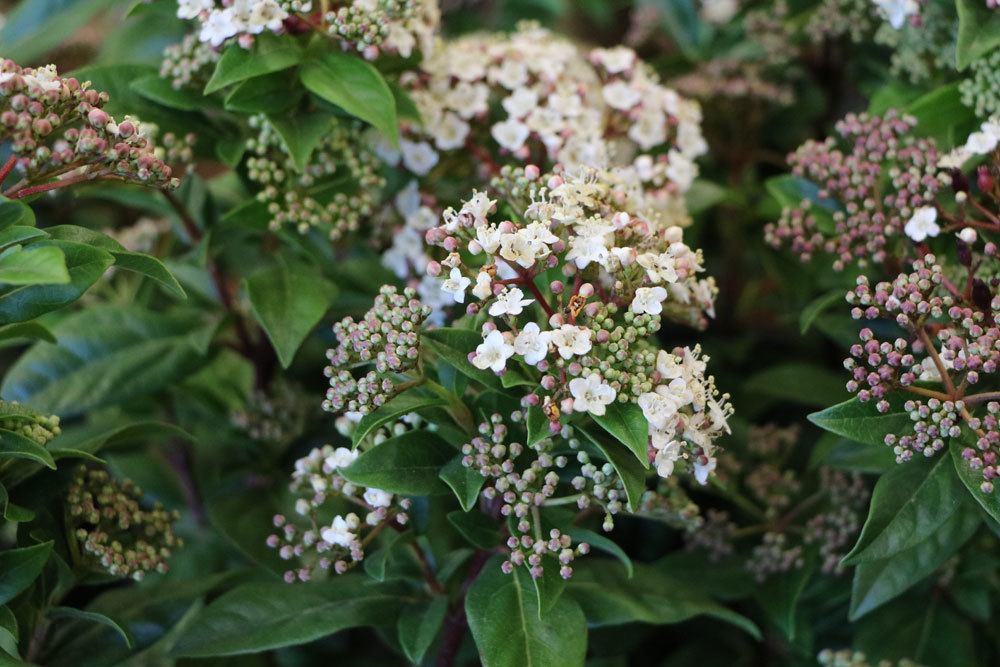 Lorbeerschneeball mit vielen kleinen Blüten mit verführerischem Duft