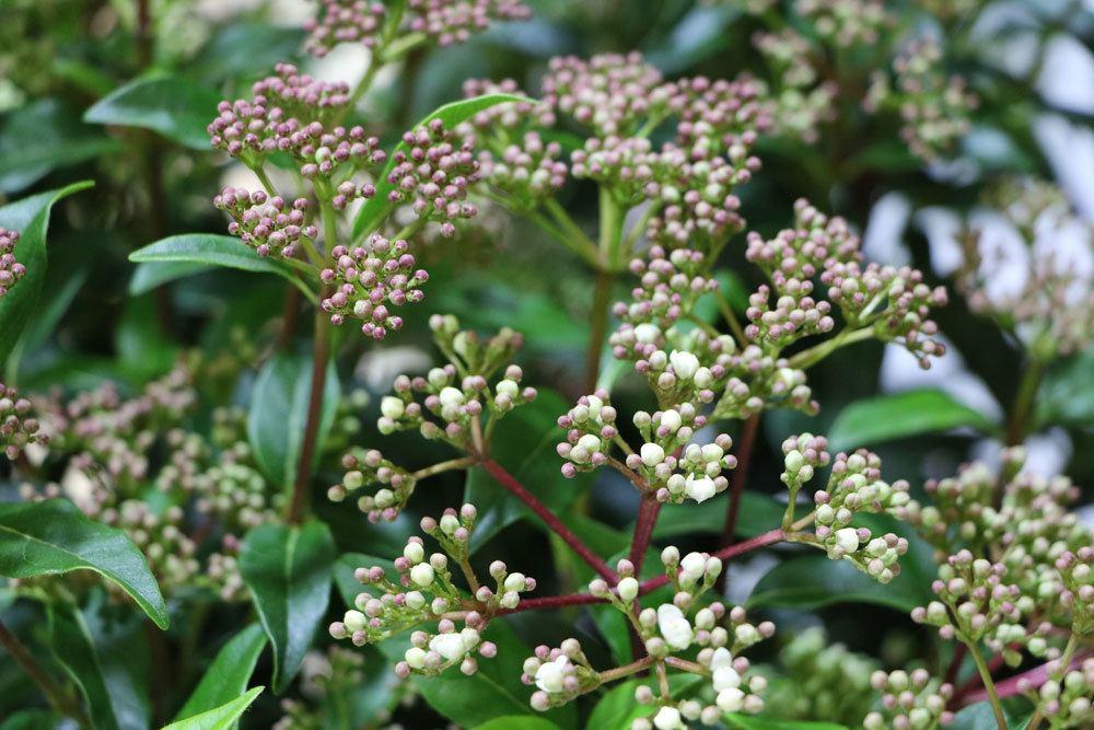 Lorbeerschneeball, Viburnum tinus für sonnige und halbschattige Standorte
