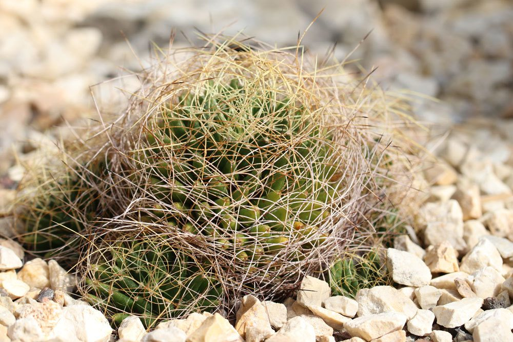 Mammillaria decipiens Kaktus