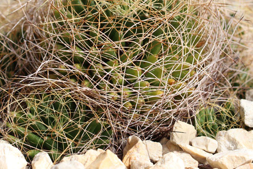 Mammillaria decipiens Kaktus ist auch für Anfänger geeignet