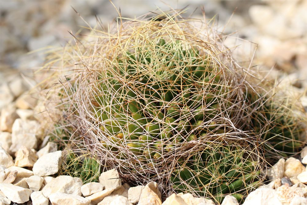 Mammillaria decipiens Kaktus wird nur sehr wenig gegossen