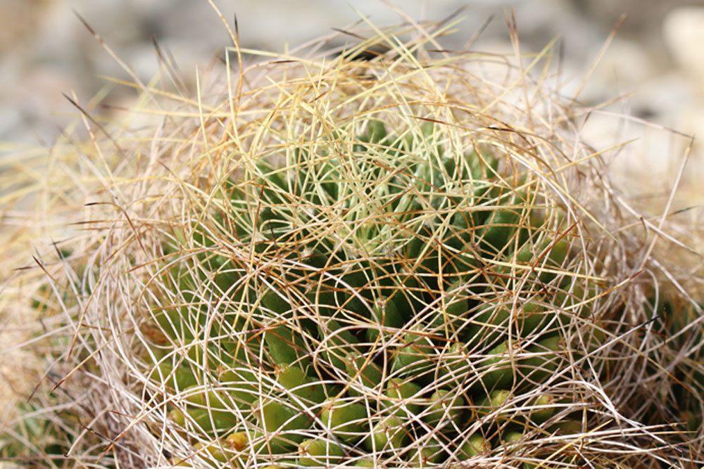 Mammillaria decipiens Kaktus wächst bis zu 10 Zentimeter hoch