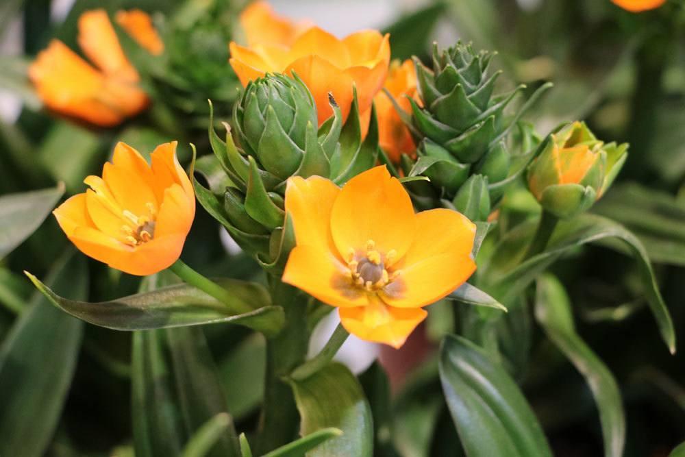 Milchstern mit Blüten, die nur tagsüber geöffnet sind
