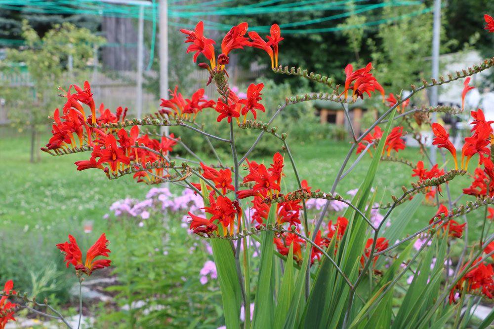 Montbretien, Crocosmia braucht einen sonnig warmen Standort