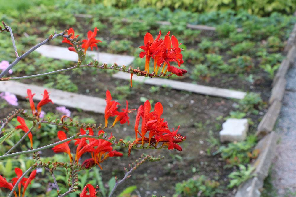 Montbretien mit roten Blüten