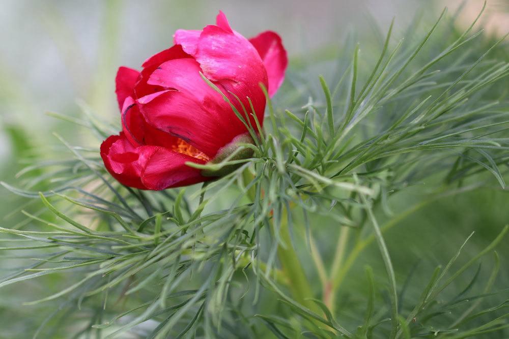 Netzblatt-Pfingstrose, Paeonia tenuifolia mit leuchtend roter Blütenfarbe