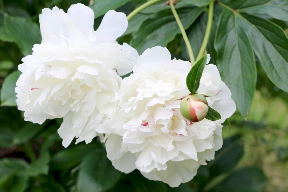 Strauchpfingstrosen gibt es in verschiedenen Blütenfarben