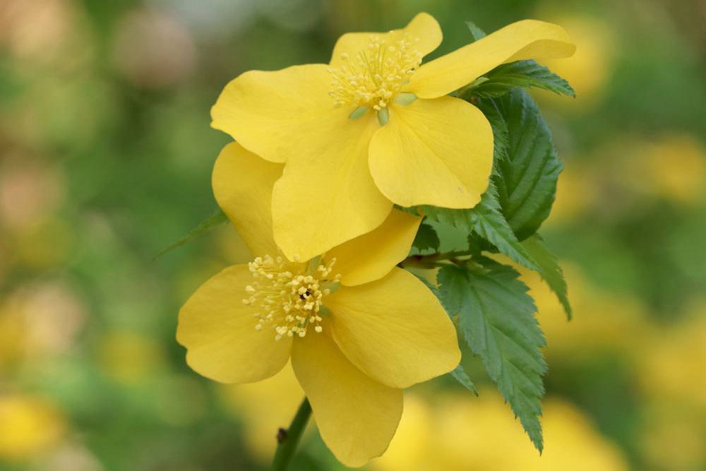 Ranunkelstrauch besitzt intensiv gelbe Blüten