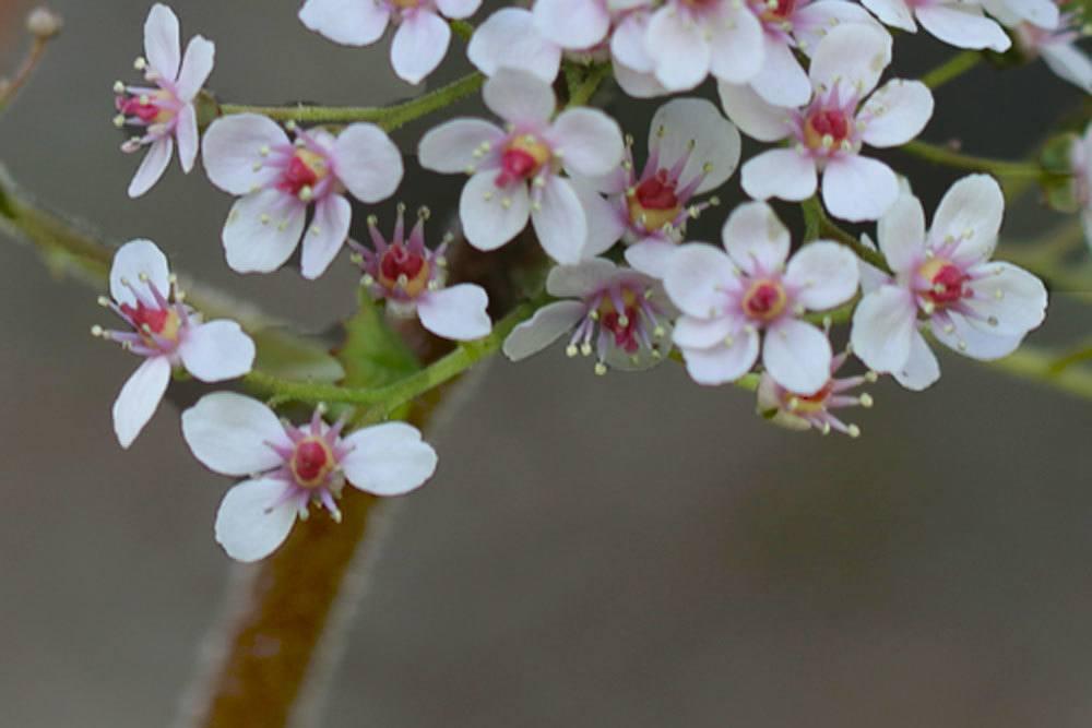 Schildblatt ist eine Blattschmuckstaude
