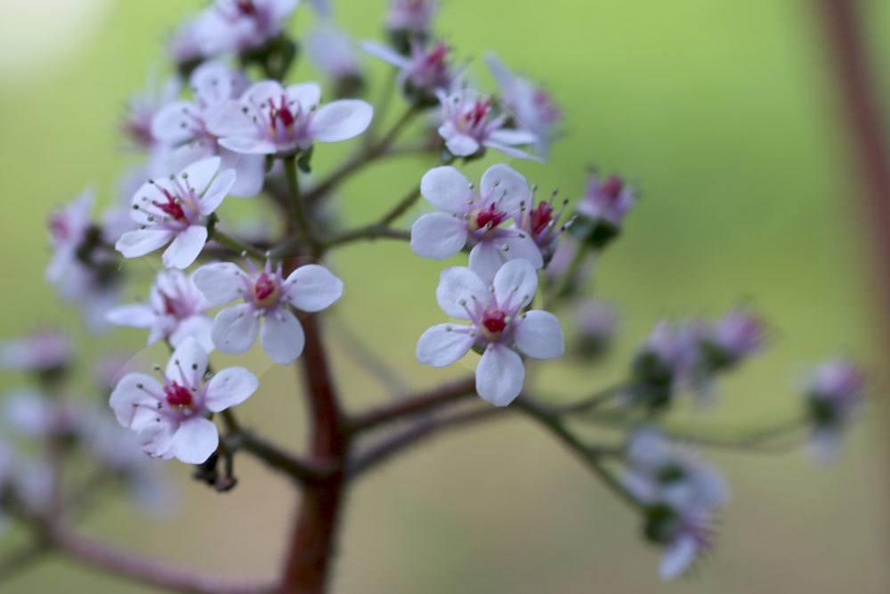 Schildblatt, Darmera peltata mit rosafarbenen Blüten