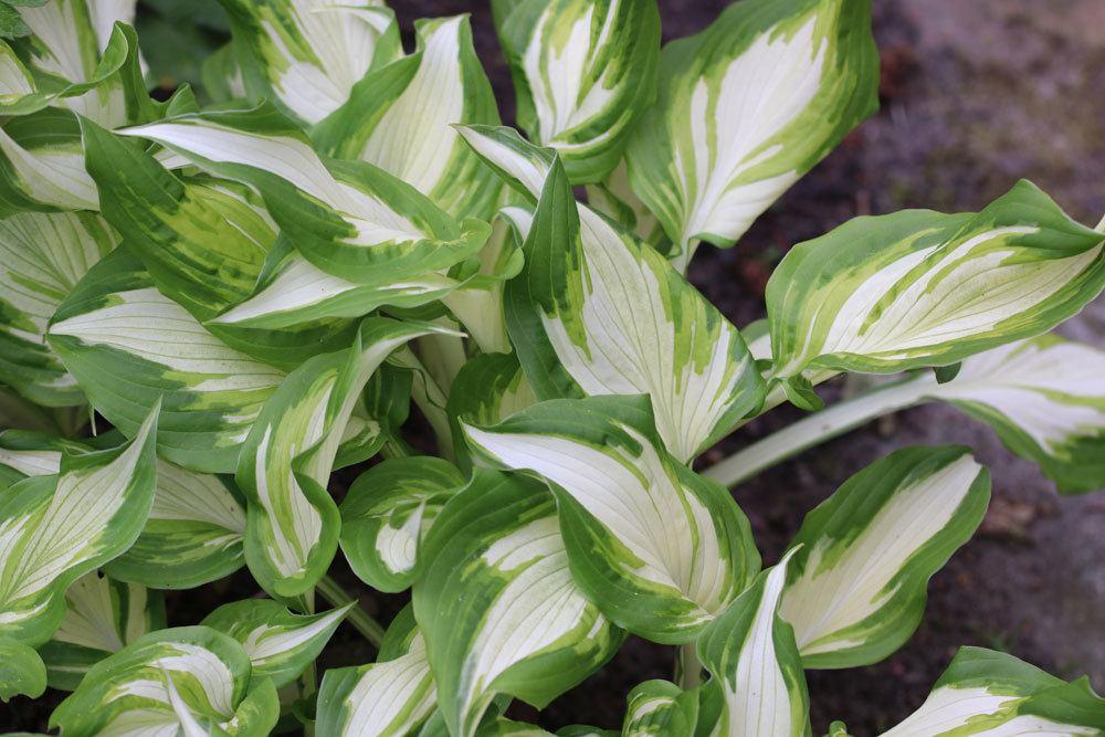 Schneefeder-Funkie mit spiralig angeordneten Blättern