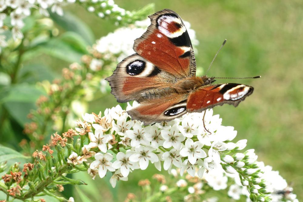 Schneefelberich lockt auch Insekten, wie hier einen Schmetterling, an