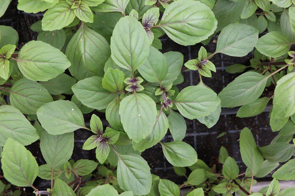 Strauchbasilikum ist eine mehrjährige Pflanze