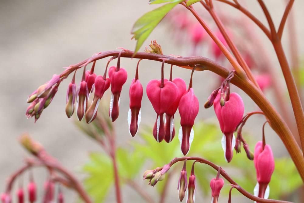 Tränendes Herz ist in all seinen Pflanzenteilen giftig
