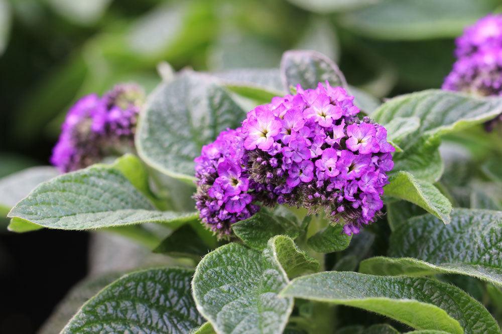 Vanilleblume ist eine dekorative Pflanze mit violetten Blüten