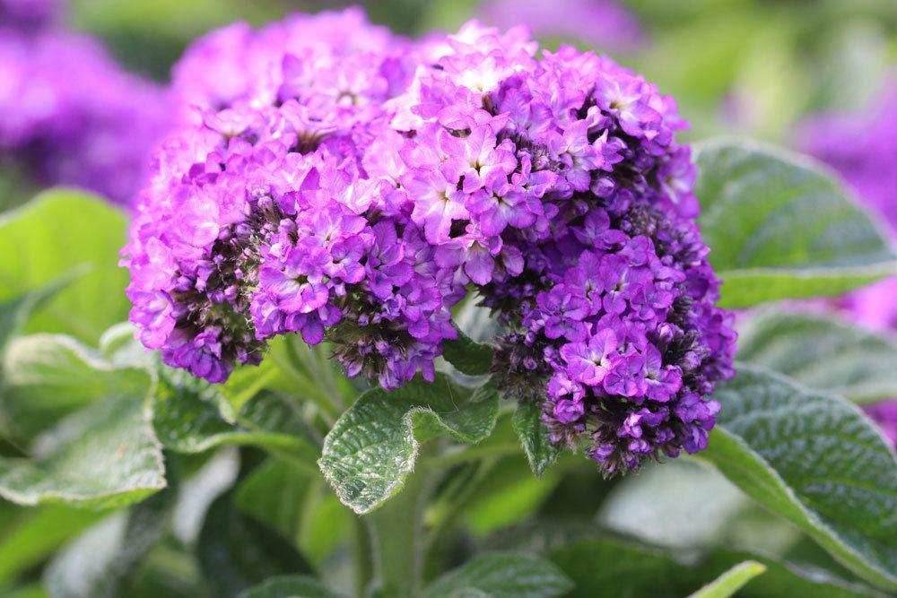 Vanilleblume mit vielen kleinen blau-violetten Blüten