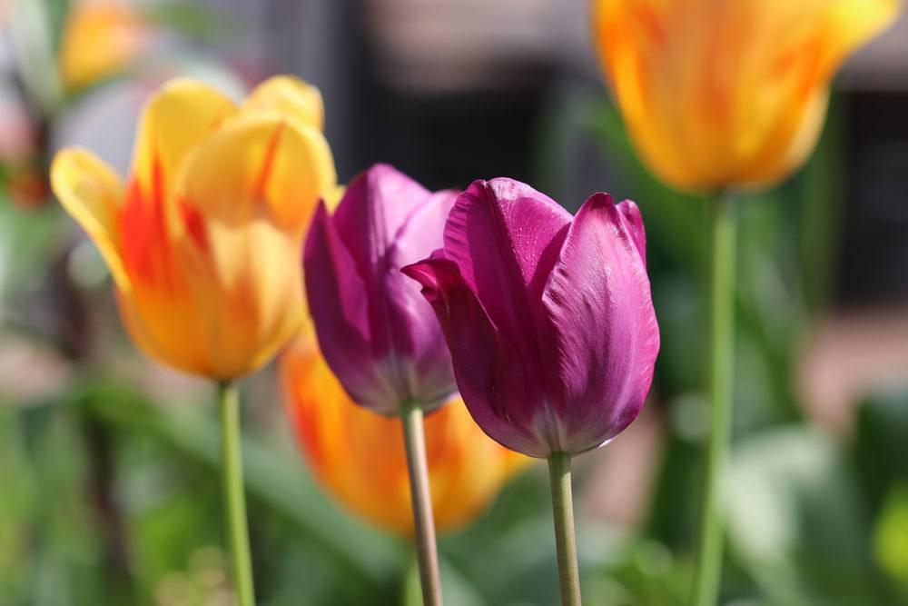 tulpen schneiden verbl hte tulpen darf man die bl ten. Black Bedroom Furniture Sets. Home Design Ideas