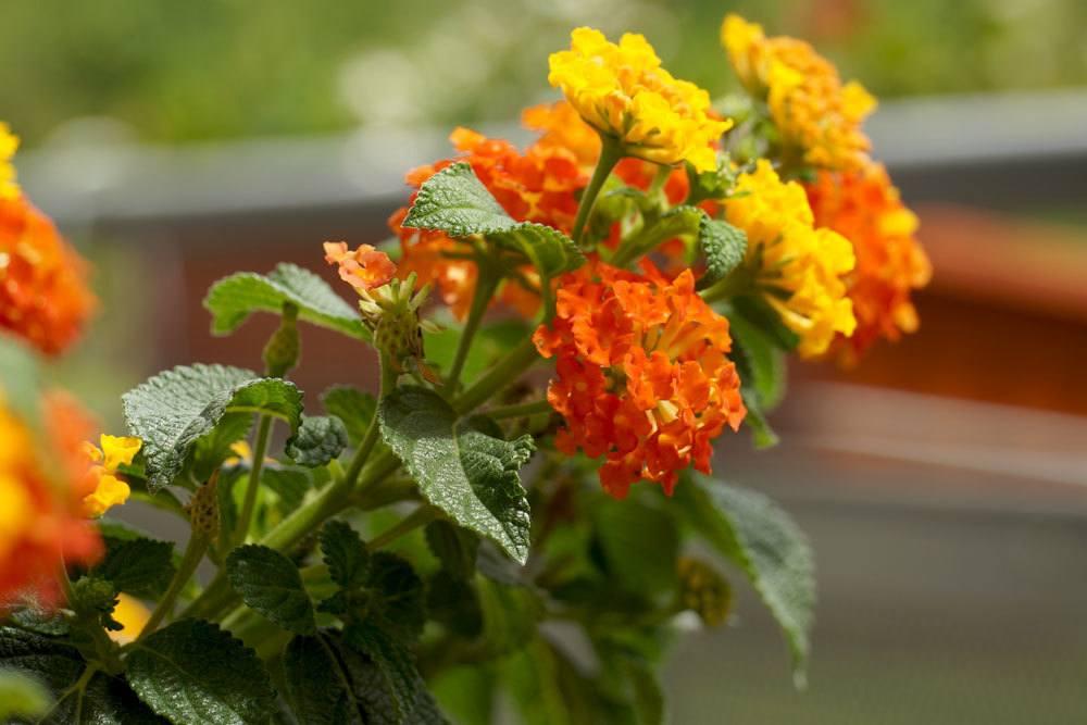 Wandelröschen blüht von Mai bis Oktober