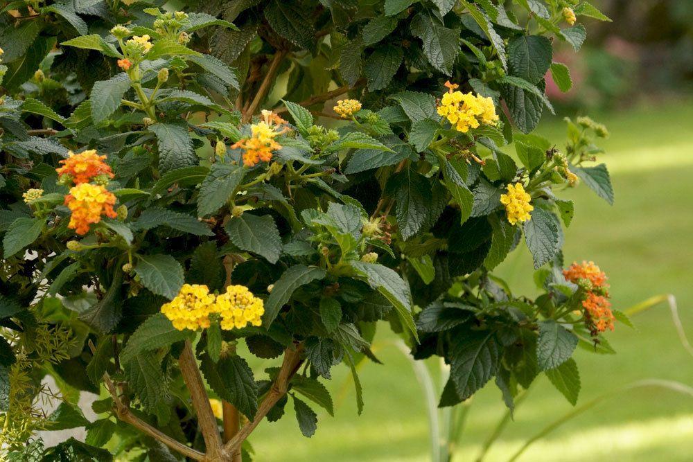 Wandelröschen auch als Hochstämmchen kultivierbar