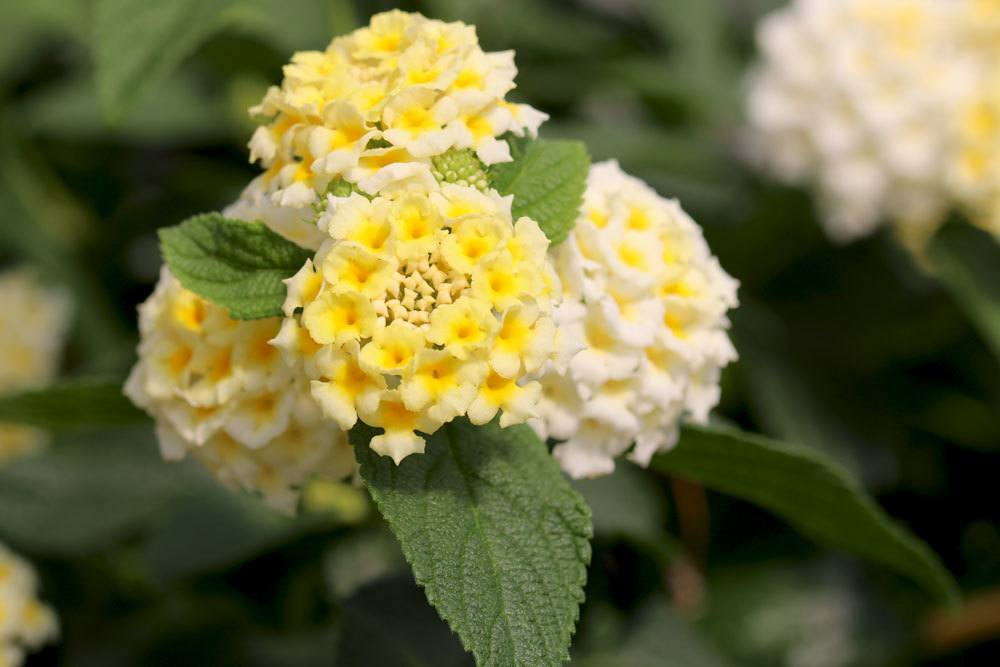 Wandelröschen mit gelben und unzählig vielen kleinen Blüten