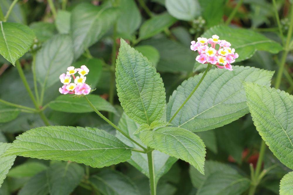 Wandelröschen ist in all seinen Pflanzenteilen giftig